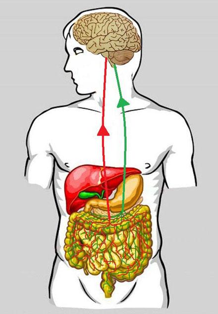 eje-cerebro-intestinal-web